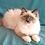 Thumbnail: 287 Maribella   Siberian female kitten