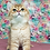 Thumbnail: 1028 Major  British shorthair male kitten
