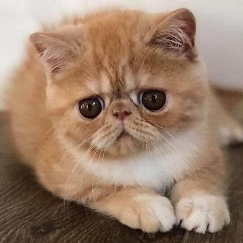 119 Lexus Exotic shorthair male kitten