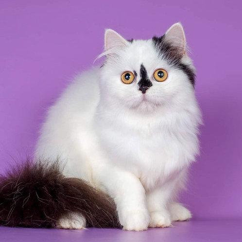 1182 Nansy  Scottish straight longhair female kitten