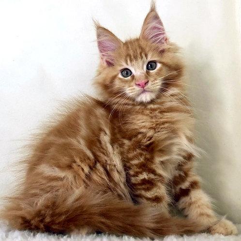 723 Aslan Maine Coon male kitten