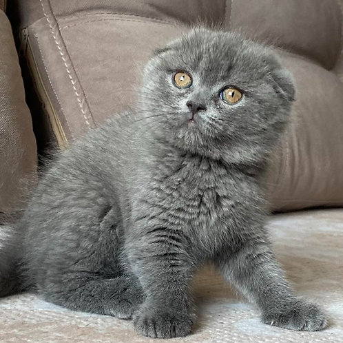 456 Vikki       Scottish fold shorthair female kitten
