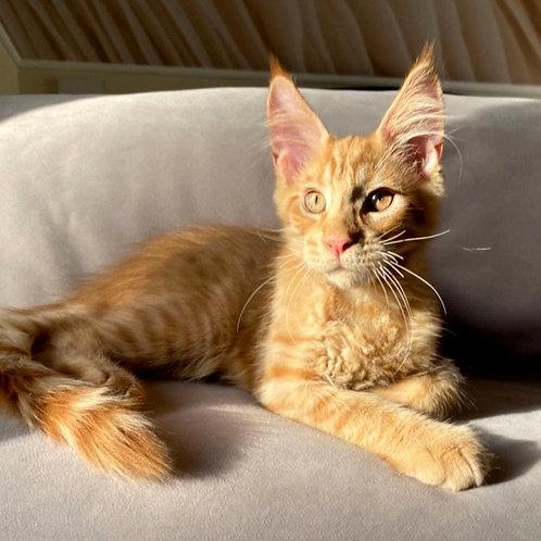 625 Apperol  Maine Coon male kitten