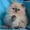 Thumbnail: 251 Tim   Persian  male kitten