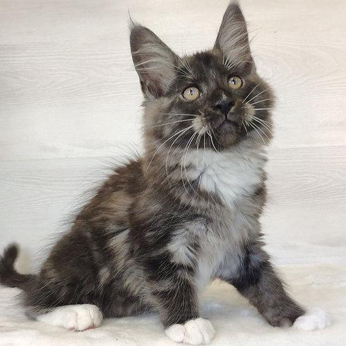 501 Izzy Maine Coon male kitten