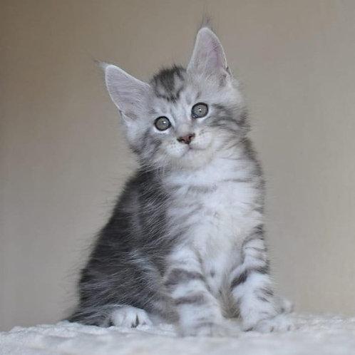 Iron Maine Coon male kitten