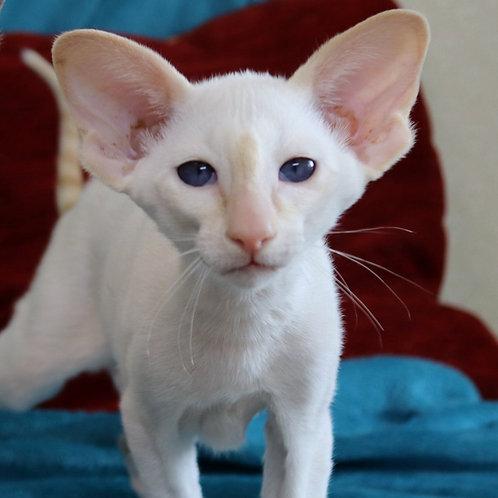 248 Irakliy   Oriental male kitten