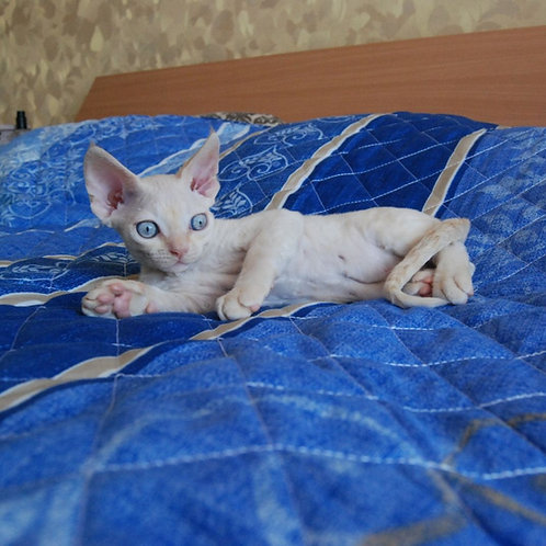 356 Danil male kitten Devon Rex