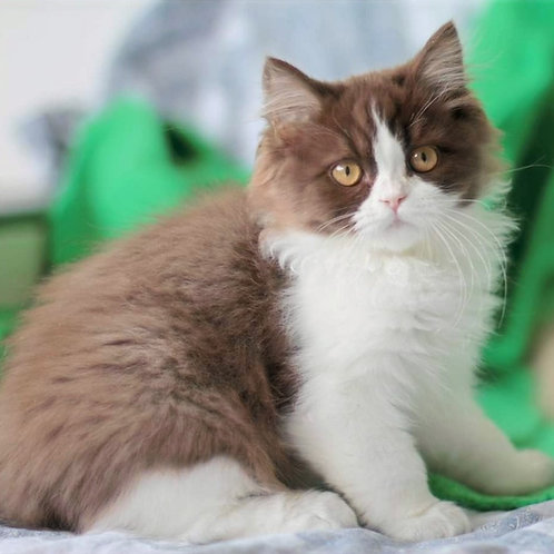 459 Havoc   British longhair male kitten