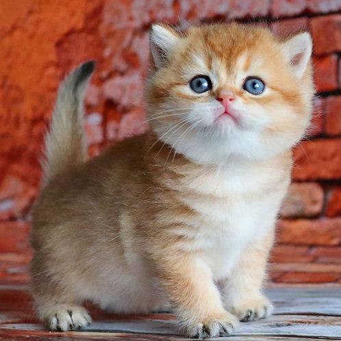 503 Thomas  British shorthair male kitten