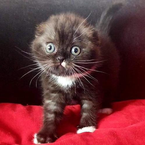 540 Loki   Scottish fold shorthair male kitten