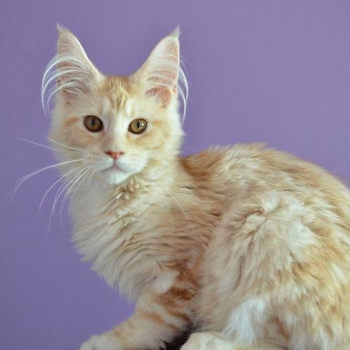 875 Indiana Jons  Maine Coon male kitten