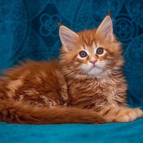 652 Fillipp Maine Coon male kitten
