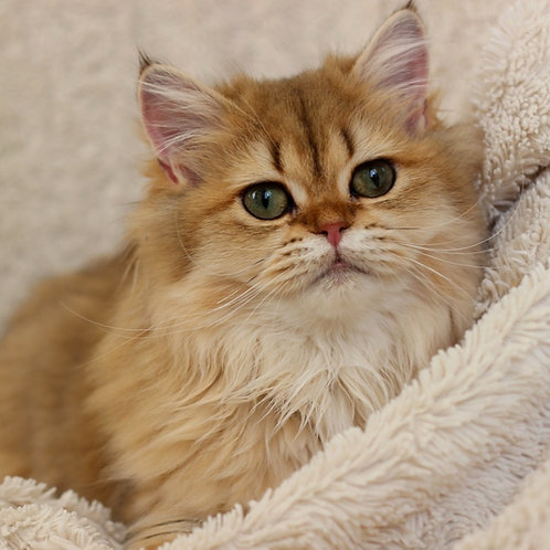1159 LyaLya  British longhair female kitten