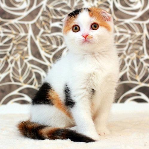 Diana Scottish fold shorthair female kitten