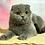 Thumbnail: 1118 Kris  Scottish fold shorthair male kitten