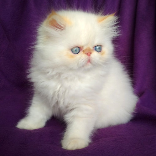 34 Alice Persian  female kitten