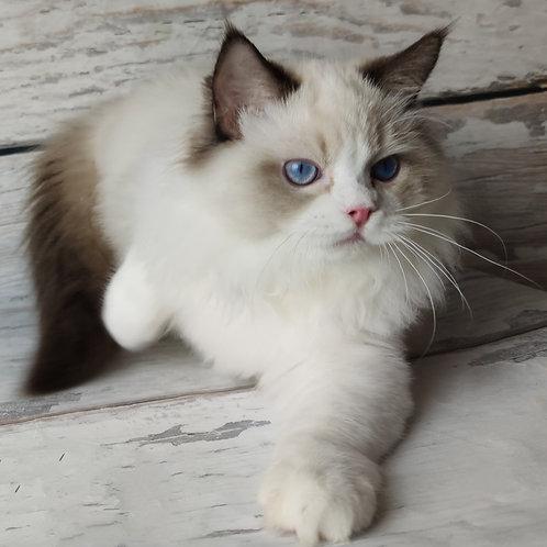 533 Jonny Love  Ragdoll male kitten