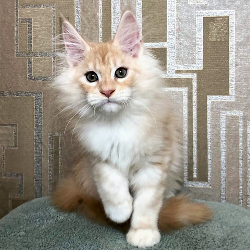 752 XSolare Maine Coon male kitten