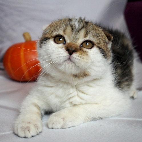 572 Ricci Scottish fold shorthair male kitten