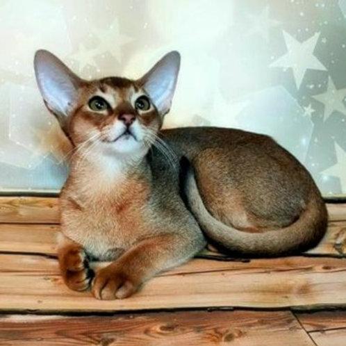 65 Toskana   purebred Abyssinian female kitten
