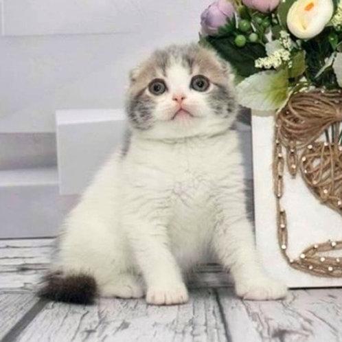 496 Tommy   Scottish fold shorthair male kitten