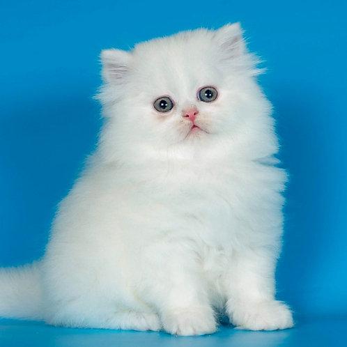 627 Lemon   Scottish straight longhair male kitten