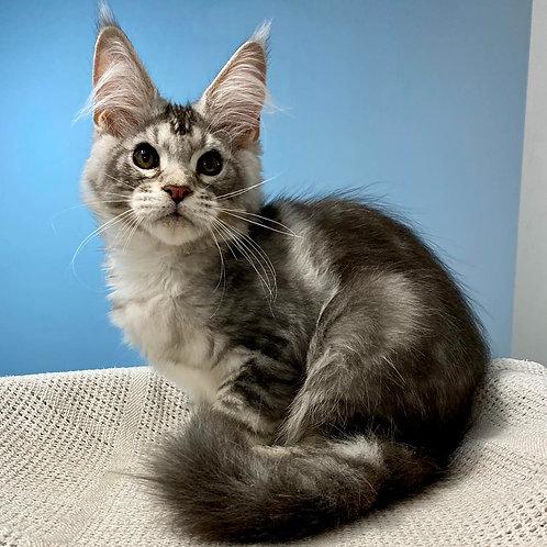 593 Adelfried  Maine Coon male kitten
