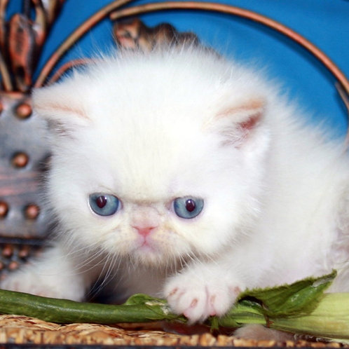155 Arisha   Exotic  female kitten