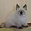 Thumbnail: 124 Forvard     Siberian male kitten