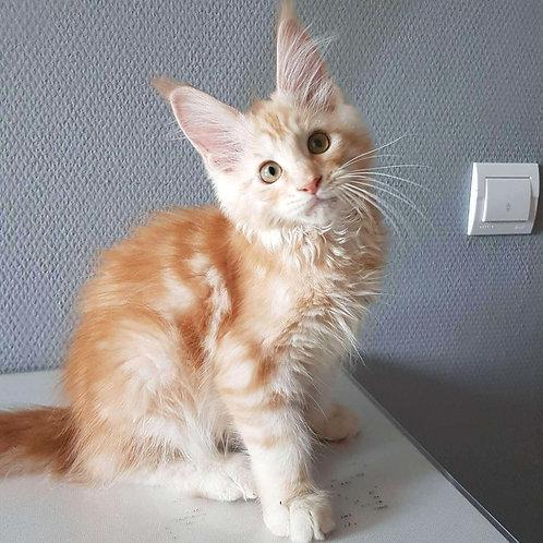 741 Gold  Maine Coon male kitten