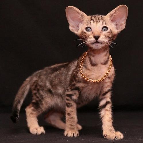 457 Veronika Oriental female kitten