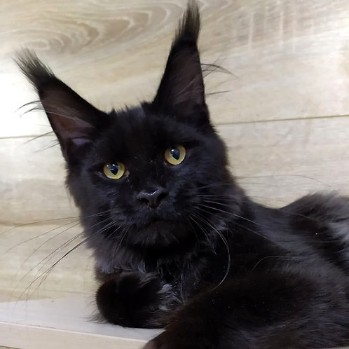 796 Louis Vuitton  Maine Coon male kitten