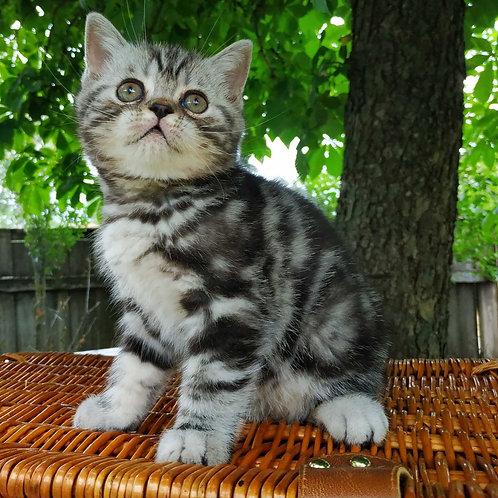 Archi Scottish straight shorthair male kitten