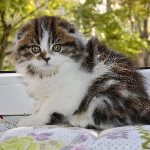 543 Talisa  Scottish fold longhair female kitten