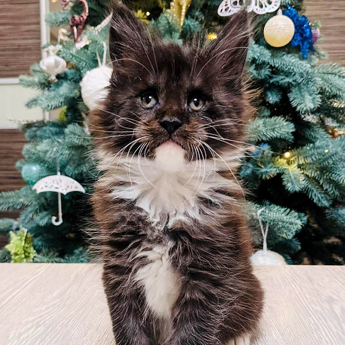 909 James Maine Coon male kitten