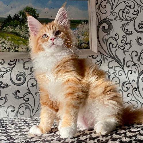 833 Q* Cavalier Fox Maine Coon male kitten