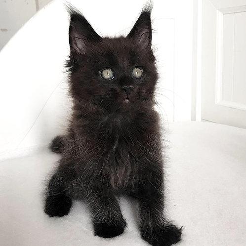 37 Loki Maine Coon male kitten