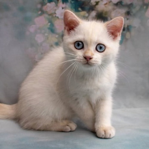 1008 Elisey  British shorthair male kitten