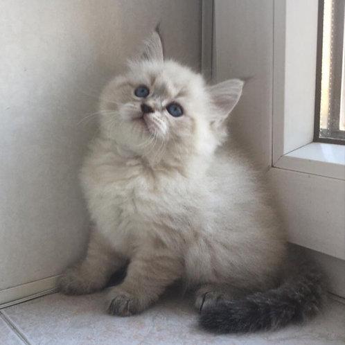 Jolie Siberian female kitten