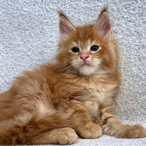 746 Idaho Maine Coon male kitten
