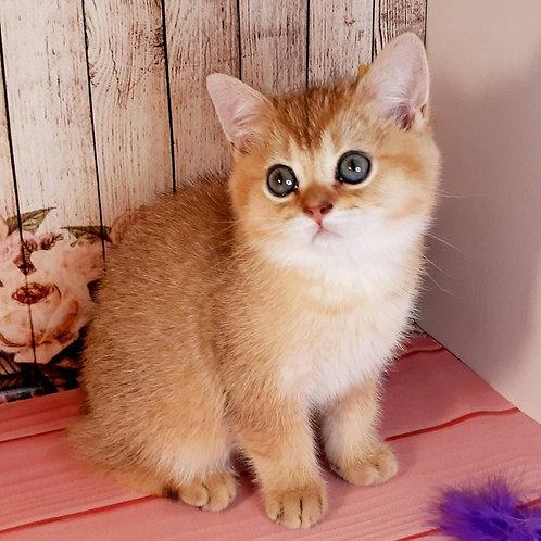 701 Dimmarch  British shorthair male kitten