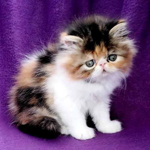 93 Ramina   Persian  female kitten