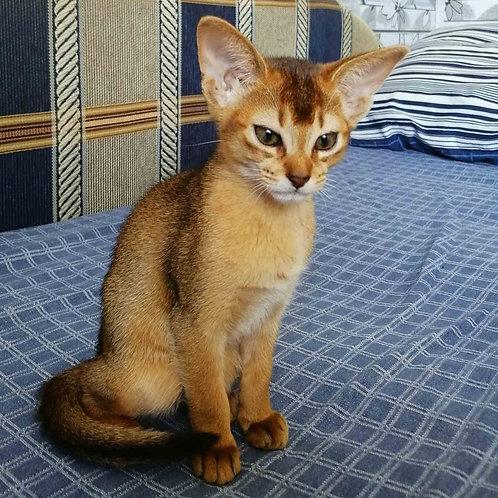138 Alicia purebred Abyssinian female kitten