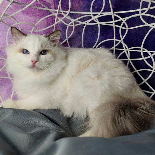 21 Jasmine  Ragdoll female kitten