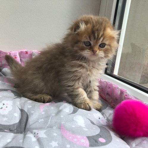 Tequila Scottish fold longhair female kitten