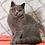 Thumbnail: 307 Florencia   British shorthair female kitten