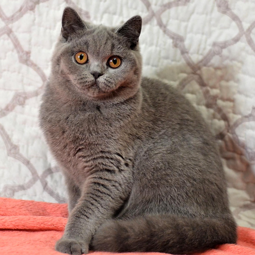 307 Florencia   British shorthair female kitten