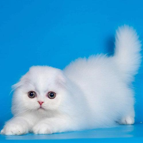 626 Lucius   Scottish fold longhair male kitten