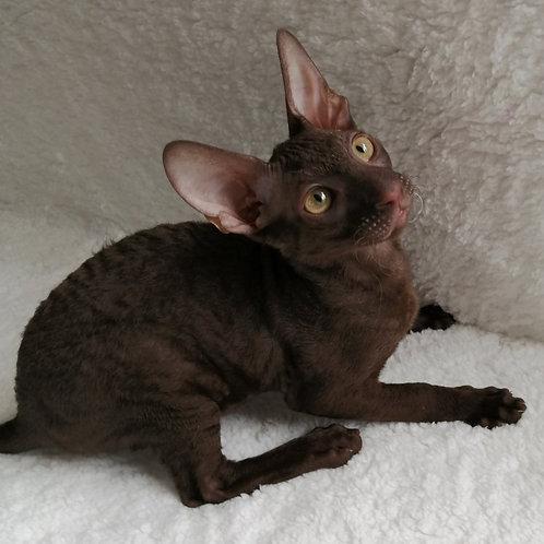 400 Samuel  male kitten Cornish Rex